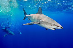 Galapagos sharks, Carcharhinus galapagensis, and shark cage, North Shore, Oahu, Hawaii, USA, Pacific Ocean