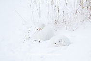 01863-01412 Two Arctic Foxes (Alopex lagopus) in snow Chuchill Wildlife Mangaement Area, Churchill, MB Canada