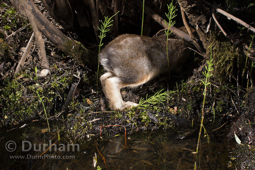 The hind quarters of a snowshoe hare (Lepus americanus) in a summer coat, near a small watering spot along the Big Hole River in Montana. Photographed via permit in Big Hole National Battlefield.