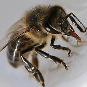 Moroccan bee macro, Marrakech, Morocco (November 2006)