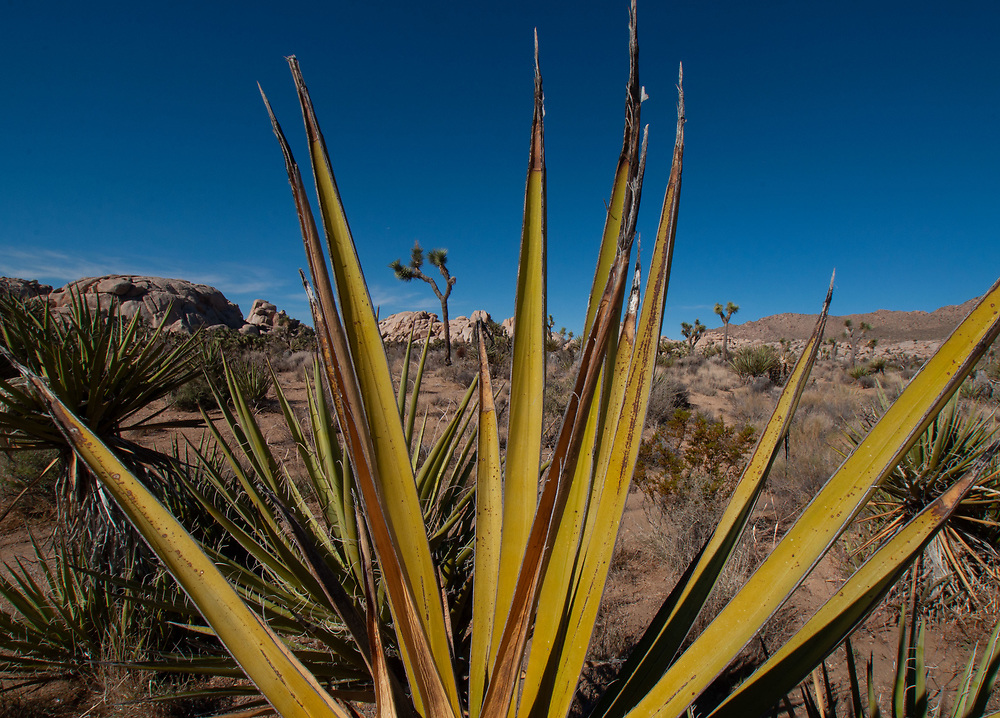 Mojave Yucca (Yucca schidigera), Joshua Tree National Park, California, US