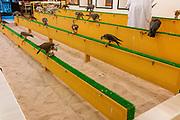 Falcons for sale. Night Market. Scenes of Doha, Qatar.