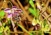 Honey Bee (Apis mellifera) on Spring Beauty.