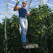 Nederland Giessen 1 September 2009 20090901 ..Een poolse arbeider plukt paprika's in kas, poseert. A polish worker at workin greenhouse, immigration.                               ..Foto: David Rozing