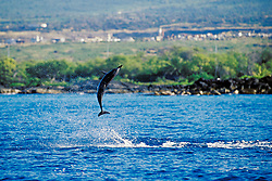 Long-snouted Spinner Dolphin calf leaping, Stenella longirostris, Kona, Big Island, Hawaii, Pacific Ocean