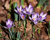 Purple Crocus. Image taken with a Leica SL2 camera and 90-280 mm  lens.