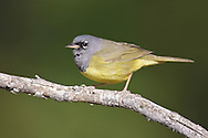 MacGillivray's Warbler - Oporornis tolmiei - male