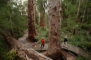 """The """"Ancient Empire Walk"""" is the path on the ground on the Valley of the Giants park near Denmark where vistors can walk among huge karri and other native australian trees."""