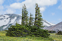 """Engleman spruce trees.  These """"flag"""" or """"banner"""" trees with branches on the leeward side, reveal the forces of the strong prevailing winds near tree line at Libby Flats of the Snowy Range.  Wyoming, USA."""