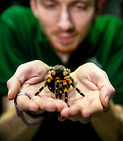 Mexican red-kneed spider at the ZSL London Zoo Annual Stocktake in London, England. Thursday 2nd January 2020