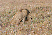 Lion and Lioness mating. Photographed at Masai Mara Kenya