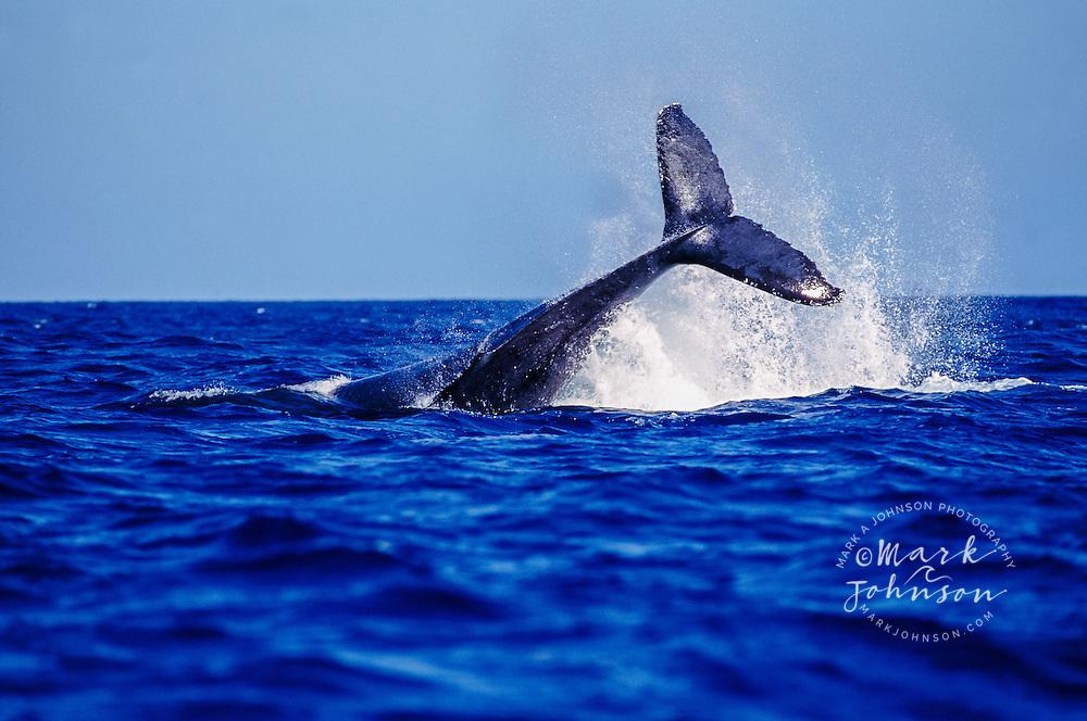 Kauai, Hawaii, USA --- Humpback Whale Diving into Ocean