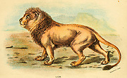 lion (Panthera leo Here as Felis leo) From the book ' A handbook to the carnivora : part 1 : cats, civets, and mongooses ' by Richard Lydekker, 1849-1915 Published in 1896 in London by E. Lloyd