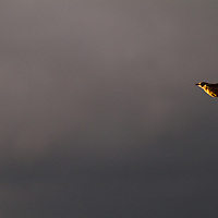 A Western Meadowlark plies the last light of a late July evening in Missoula.