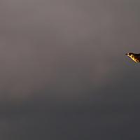 A Western Meadowlark plies the last light of a late July evening in Missoula.