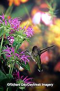 01162-05706 Ruby-throated Hummingbird (Archilochus colubris) female at Bee Balm (Monarda sp.) Shelby Co. IL