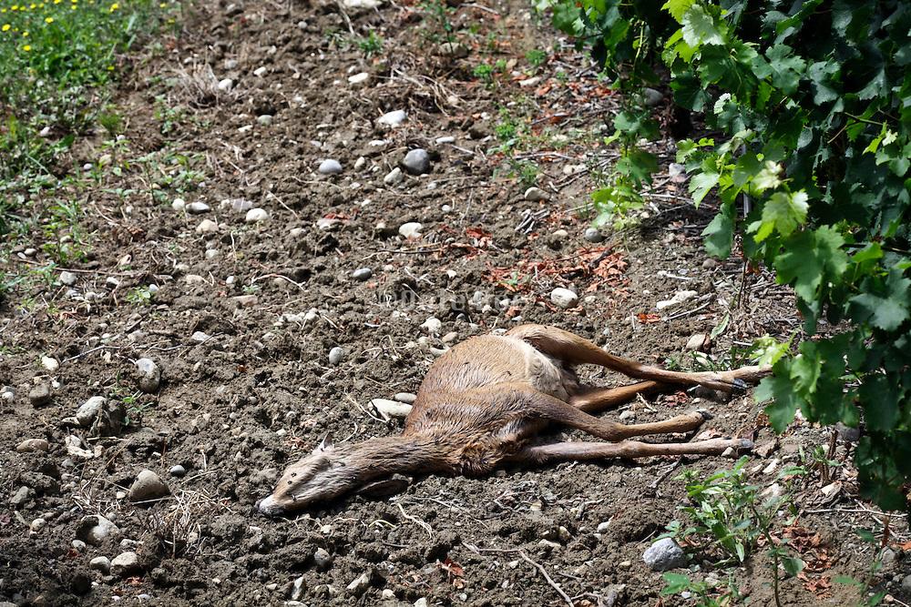 dead deer in a vineyard