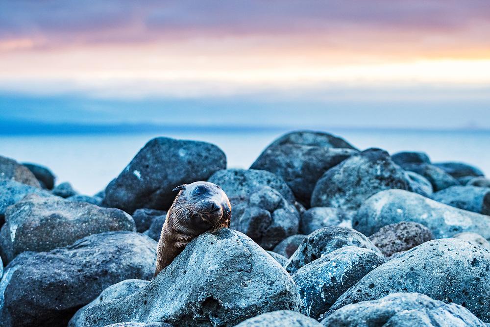 A young Galapagos Sea Lion (Zalophus wollebacki) resting on rocks at sunset on North Seymour Island, Galapagos, Ecuador.