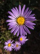 wildflower, Rocky Mountain aster, Arizona