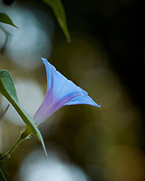 Morning Glory Flower. Image taken with a Nikon 1 V3 camera and 70-300 mm VR lens