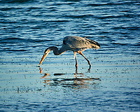 Great Blue Heron at Fort De Soto park. Image taken with a Nikon One V3 camera and 70-300 mm VR lens (ISO 400, 300 mm, f/5.6, 1/640 sec).