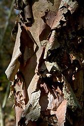 Stock photo of the peeling bark of a cypress tree
