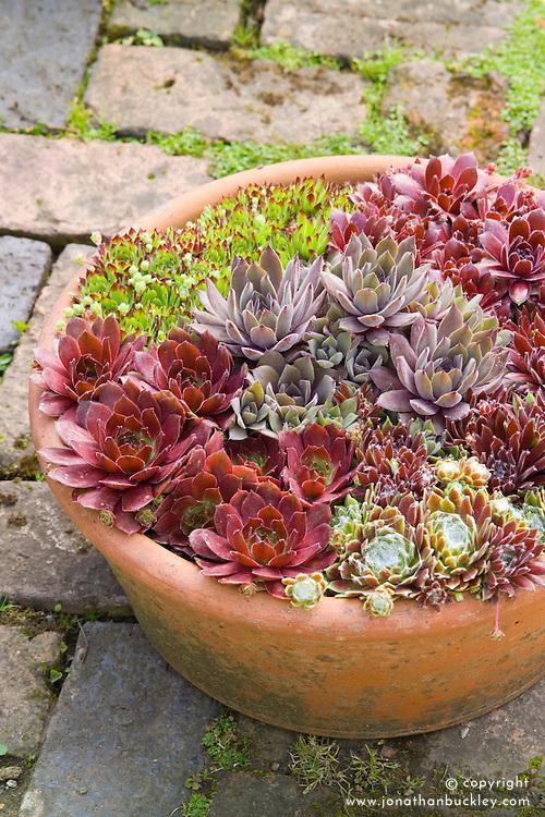 Sempervivum - Houseleeks in a terracotta pot. Sempervivum 'Commander Hay', 'John T.', 'Lennik's No.1', 'Kramer's Spinrad', S. x roseum 'Fimbriatum'