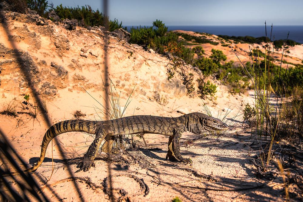 Southern Heath Monitor at Bald Head track on Flinders Peninsula. Torndirrup National Park, Western Australia.