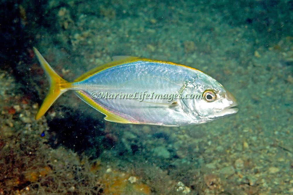 Yellow Jack inhabit open water just above reefs in Tropical West Atlantic; picture taken Blue Heron Bridge, Palm Beach, FL.