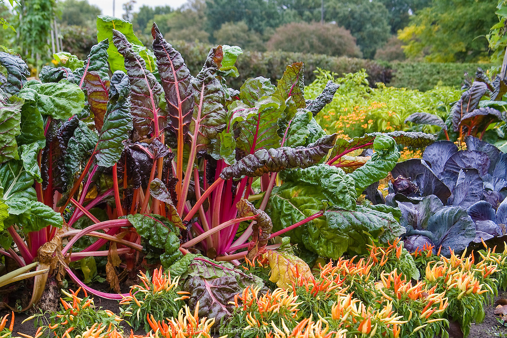 Bright Lights chard, ornamental peppers, cabbages add colour to a kitchen garden in early autumn.