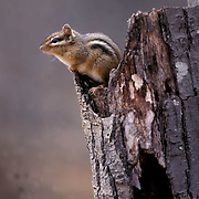 Chipmunk, (Tamias striatus) Sitting at edge of tree stump in forest. Busy foraging for food. Fall.