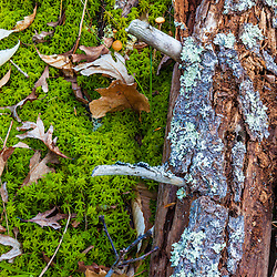 A tree decays into the sphagnum moss at Spruce Hole Bog, Durham, New Hampshire. National Natural Landmark.
