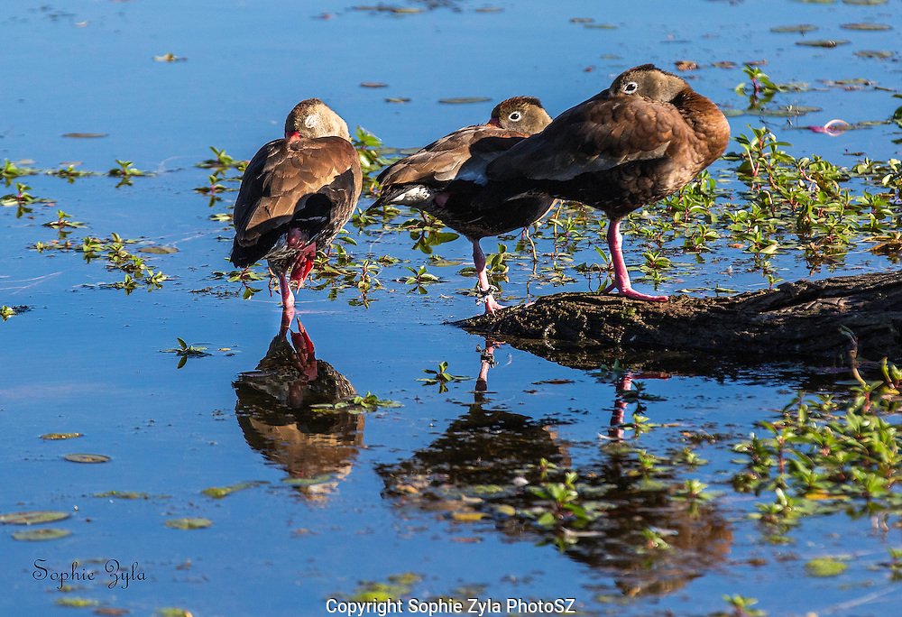 Black-bellied Whistling Ducks catching a nap
