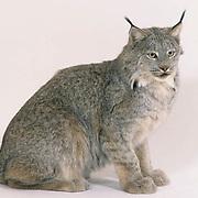 Canada Lynx, (Lynx canadensis) On white background.  Captive Animal.