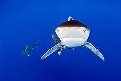 oceanic whitetip sharks, Carcharhinus longimanus, IUCN Vulnerable Species, Kona Coast, Big Island, Hawaii, USA, Pacific Ocean