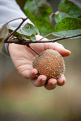 Removing an apple that has been infected with brown rot - Monilinia fructigena, M. laxa.