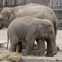 Upcoming 3rd birthday of the baby elephant Arun (front) is celebrated with special birthday cake on the birthday of his mother Angele (back) who turns 19 years old today at the Zoo Budapest in Budapest, Hungary on Nov. 5, 2020. ATTILA VOLGYI