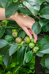 Thinning out step over apples to encourage larger fruit to form