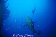 Don DeMaria prepares to tag Goliath grouper or jewfish, Epinephelus itajara, using speargun, on Thunderbolt Wreck<br /> Marathon, Florida ( Western Atlantic Ocean ) <br /> FSU-NMFS jewfish research project