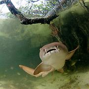 Juvenile nurse shark (Ginglymostoma cirratum) in a mangrove forest, Bimini, Bahamas.