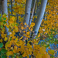 Fall colored aspens illuminate Bishop Creek Canyon in the Eastern Sierra Nevada near Bishop, California.