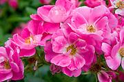 Closeup of pretty pink flowers.  St Paul Minnesota USA