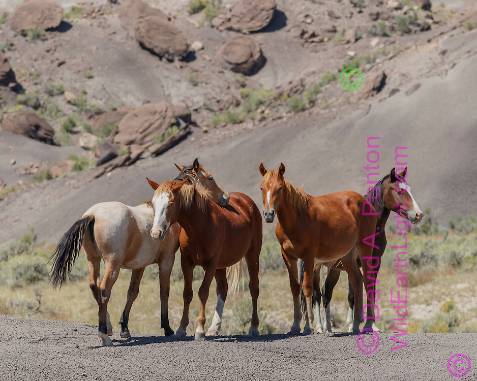Mustang band resting on barren ground surrounded by badlands in northwestern New Mexico, © David A. Ponton