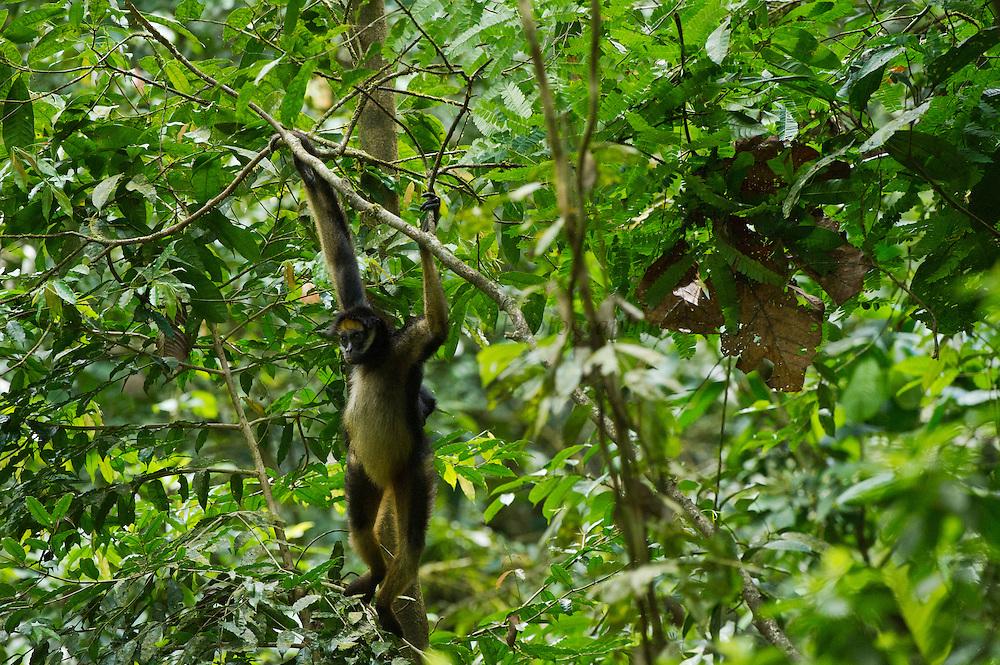 White-Bellied Spider Monkey (Ateles belzebuth) & Baby<br /> Yasuni National Park, Amazon Rainforest<br /> ECUADOR. South America<br /> HABITAT & RANGE: Tropical forests of Brazil, Columbia, Ecuador, Peru and Venezuela
