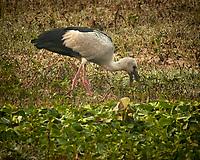 Asian Openbill. Bharatpur-- Keoladeo Ghana National Park, Rajasthan, India. Image taken with a Nikon 1 V3 camera and 70-300 mm VR lens.