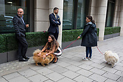 A family of pomeranian dogs aka Zwergspitz are being taken out for their regular walk by their owners around the block in Mayfair, on 4th September 2017, in London, England. The Pomeranian is a breed of the Spitz type named for the Pomerania region in Germany and Poland in Central Europe.