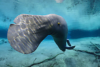 Florida manatee, Trichechus manatus latirostris, a subspecies of the West Indian manatee, endangered. Series of a mature adult male manatee with scars resting and warming himself over a large springhead. An adult male manatee stretches and rolls in a head down position, underside showing, while floating over a spring. Tranquil warm blue freshwater and rainbow sun rays enhance the peaceful scene  Horizontal orientation with blue water and rainbow sun rays. Three Sisters Springs, Crystal River National Wildlife Refuge, Kings Bay, Crystal River, Citrus County, Florida USA.