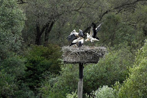 Nederland, Kekerdom, 21-6-2014Nest met jonge ooievaars. Twee van de uivers slaat de vleugels uit. Ze zullen spoedig uitvliegen. Foto: Flip Franssen/Hollandse Hoogte