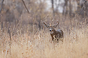 Whitetail deer during autumn rut