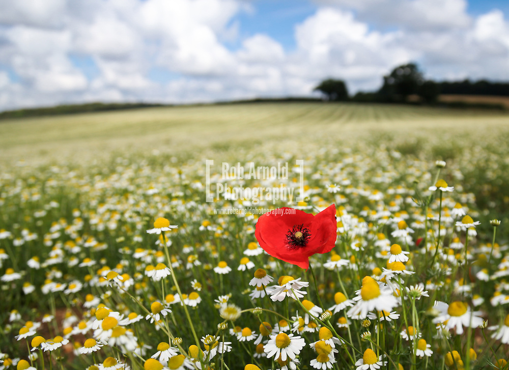 © Rob Arnold.  07/08/2014. Hampshire, UK. A lone poppy in Camomile fields on the Malshanger estate. The farm grows Black Mitcham peppermint, lavender and camomile as their 'aromatic' crop, along with the staple farm crops such as wheat and barley. The camomile is harvested for oil and tea. Photo by Rob Arnold
